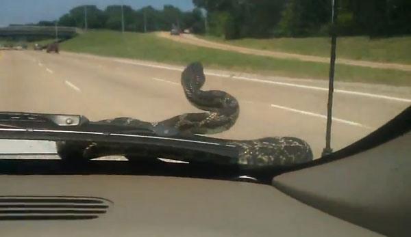 Snakes on a Car?