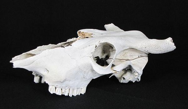 ah skull